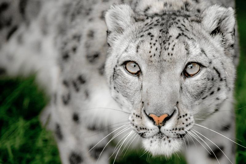 Snow Leopard ( Panthera uncia) Captive