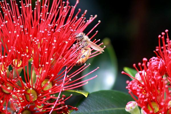 Honey bee on Rata