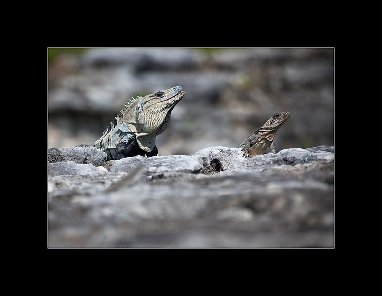 iguanas 2 small.jpg