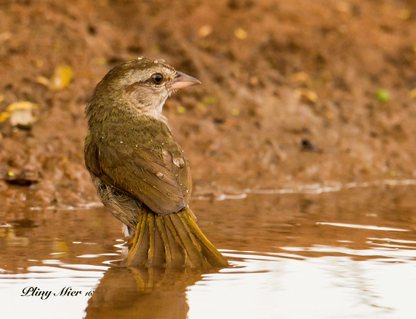 Olive Sparrow Bath_DWL5486.jpg