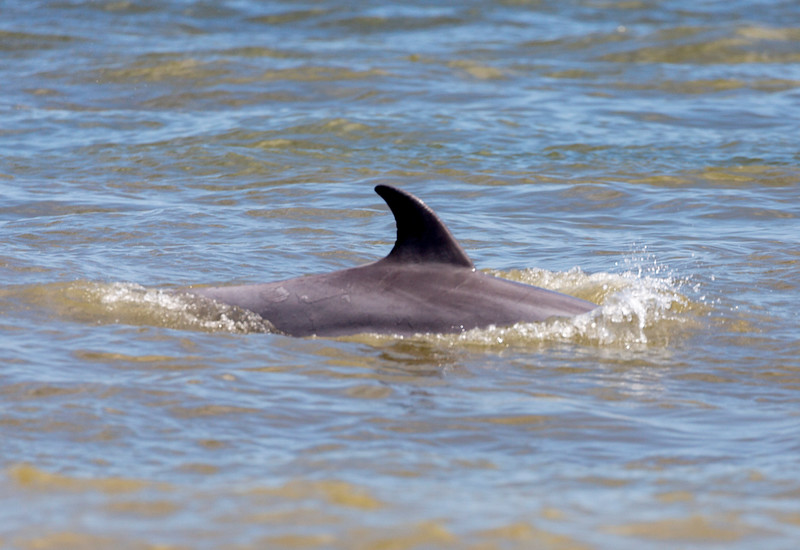 The first of many dolphins.  They were out in force today.