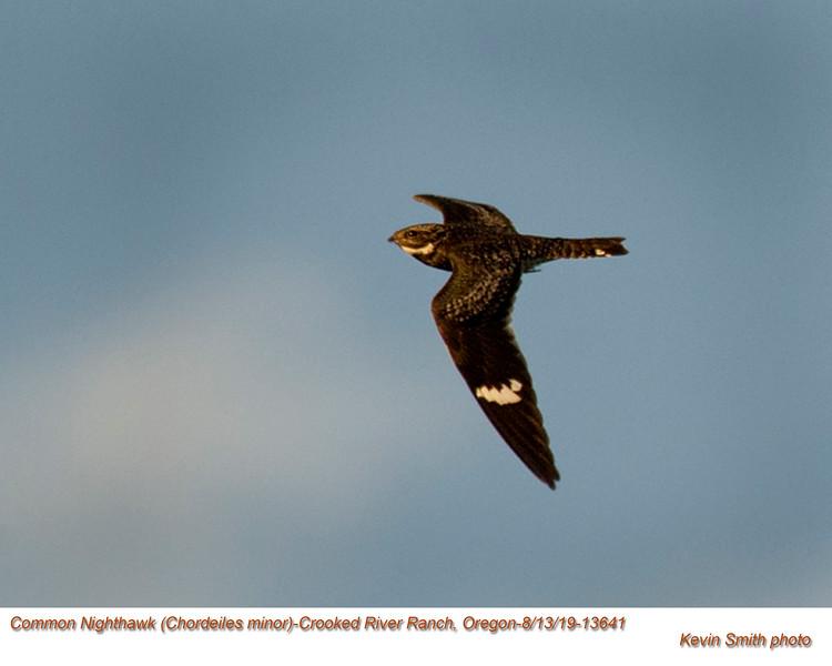 Common Nighthawk A13641.jpg