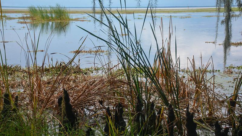 Cypress knees along Lake George