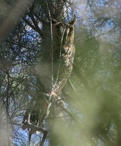 Sarvipöllö (Asio otus)