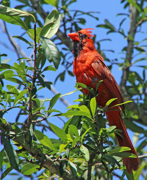 regal cardinal.jpg