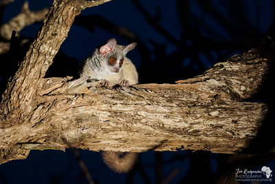 A bush baby at night in the Timbavati