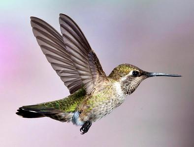Hummingbirds & A Couple of Jays