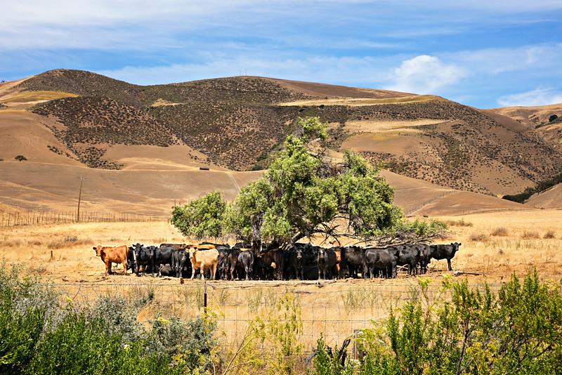 8374 Cows