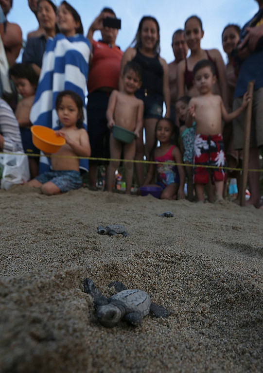 ". In this Saturday, Dec. 2, 2017 photo, children watch the release of olive ridley sea turtle hatchlings on the beach in Sayulita, Nayarit state, Mexico. A local non-profit organization ""Red Tortuguera\"" is helping the turtles survive by relocating recently laid eggs to a protected area of the beach, collecting the hatchlings to keep them safe from bird attacks, and releasing them as a group every Saturday at sunset. (AP Photo/Marco Ugarte)"