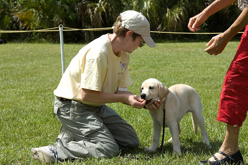 The Labrador Retriever puppy stacks nicely as the judge begins her hands-on examination.