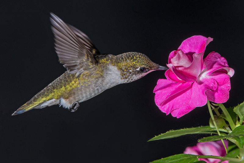 Hummingbird in the Phlox