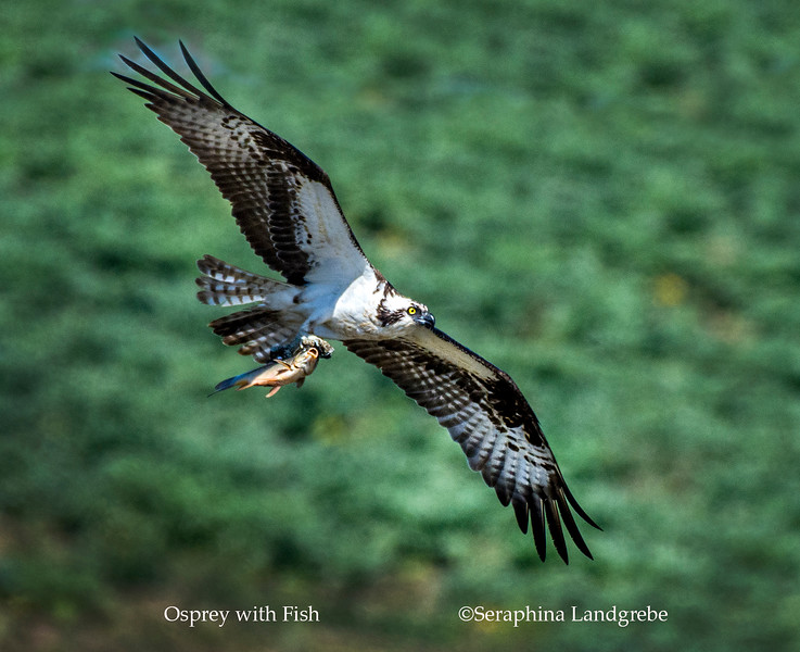 _DSC5877Male flight fish.jpg