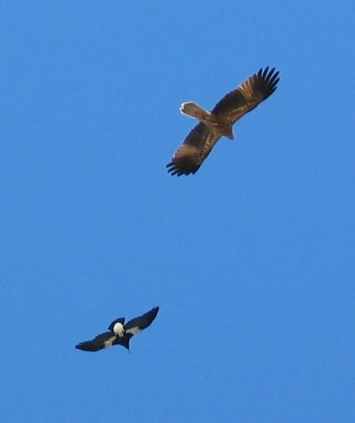 Whistling Kite and Magpie.JPG
