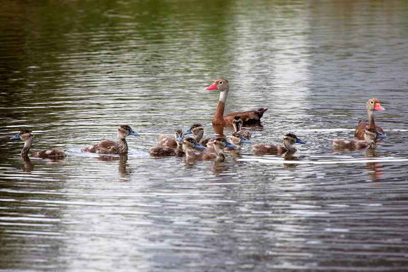 ... including a family of Black-Bellied Whistling Ducks