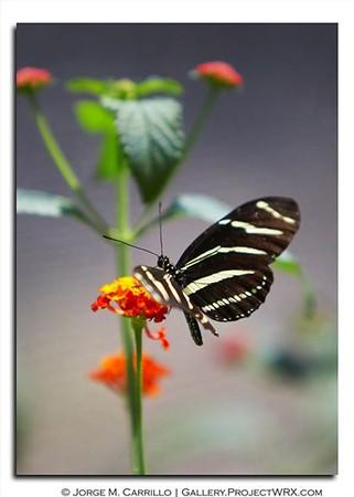 Butterflies - Hi Res