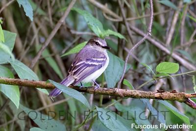 Fuscous Flycatcher, Trinidad & Tobago