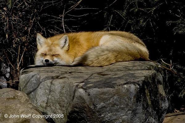 Lakota Wolf Preserve - Bobcat, Fox