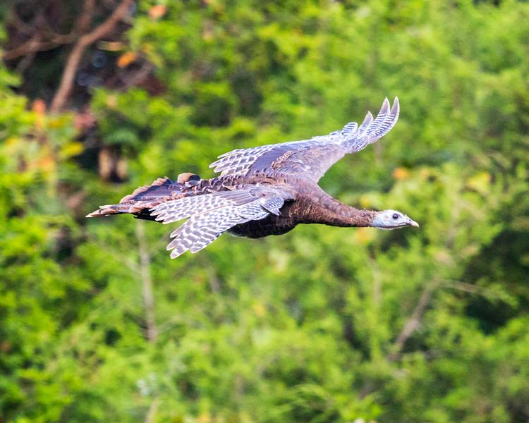 Wild Turkey flying