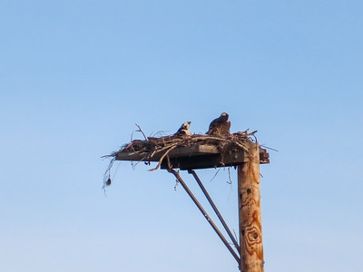 Ospreys and Friends 2019