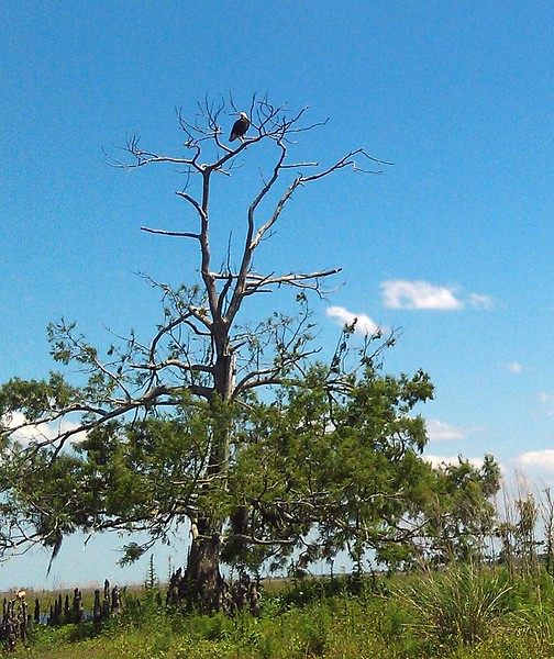 A bald eagle (Haliaeetus leucocephalus), in a tree that's been hit by lightning 12 times