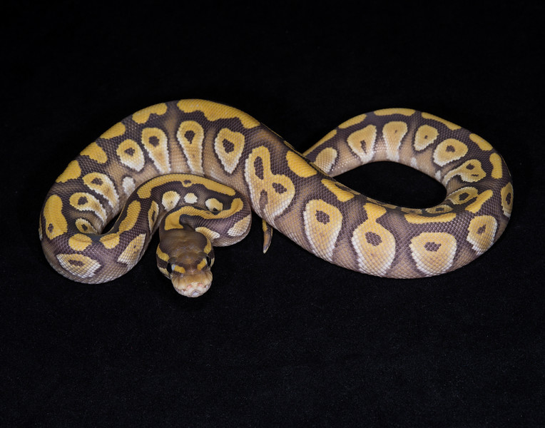 123FMG, female Mojave Ghost, $200