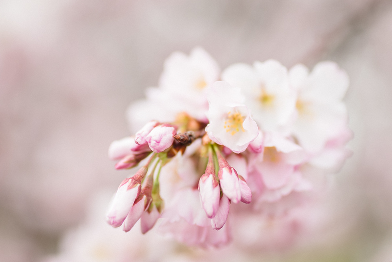 Cherry Blossoms (32 of 182).jpg