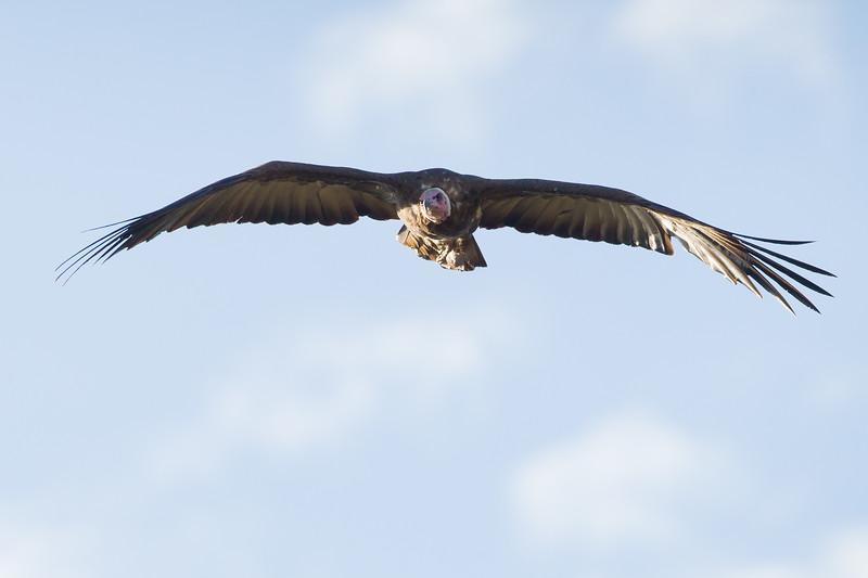 Lappet-faced Vulture - Serengeti National Park, Tanzania