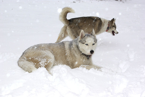 Arctic Rescue Dogs