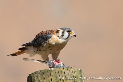 American Kestrel, Cernícalo (Falco sparverius)