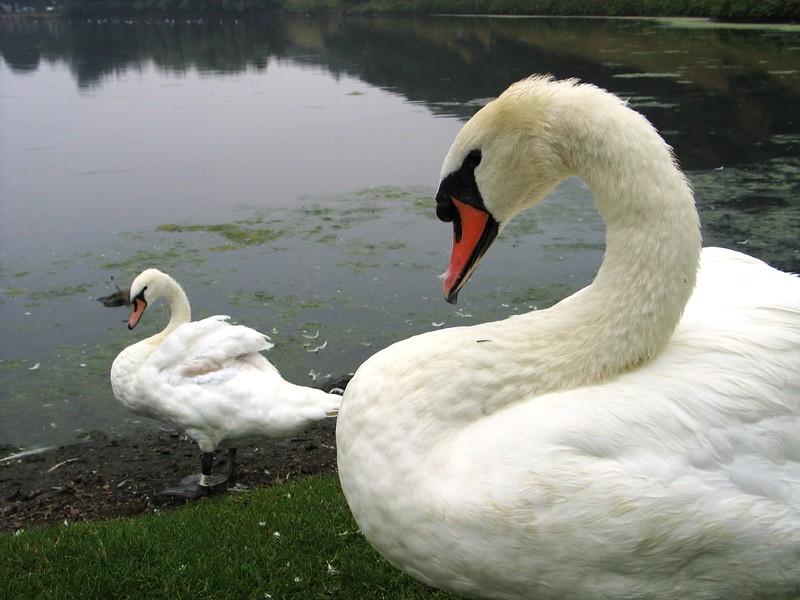 Swans (1).jpg