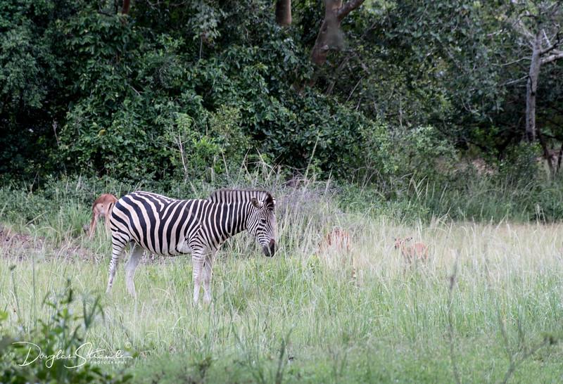 Zebra on the grounds of Emdoneni Lodge