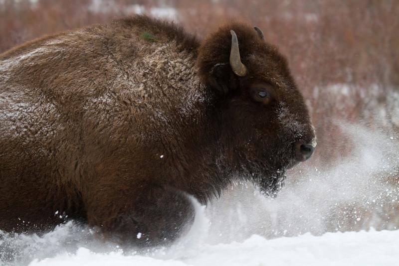 bison096.jpg