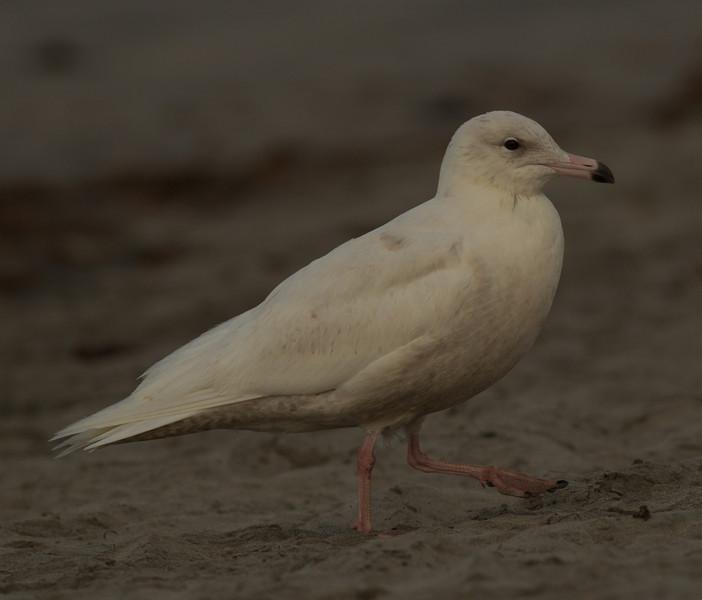 Glaucous Gull Oceanside  2014 02 26-7.CR2