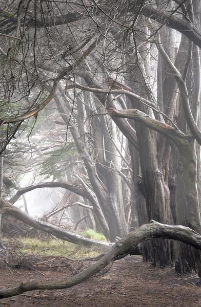 Fall Cypress, Sea Ranch, California