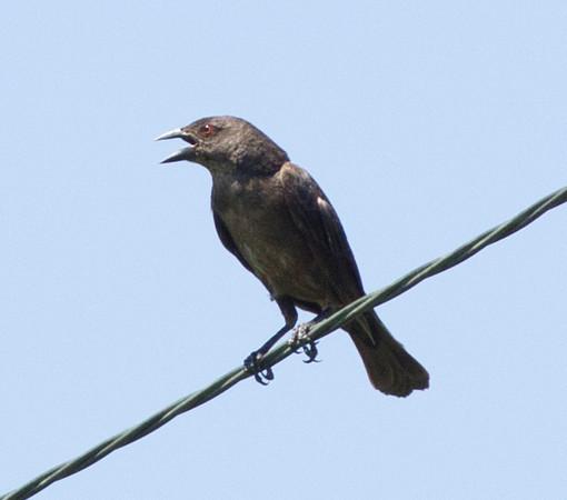 Bronzed Cowbird Patagonia Arizona  2011 08 18-1.CR2-1.CR2