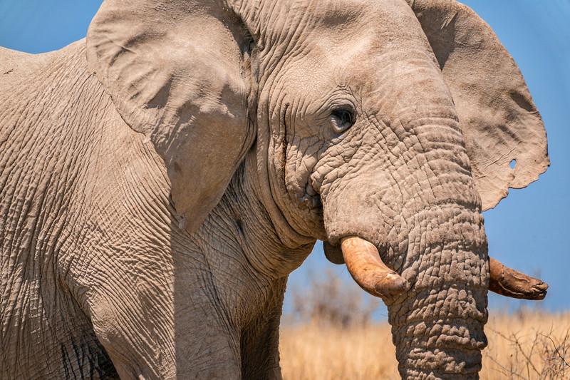 Elephant in Etosha National Park