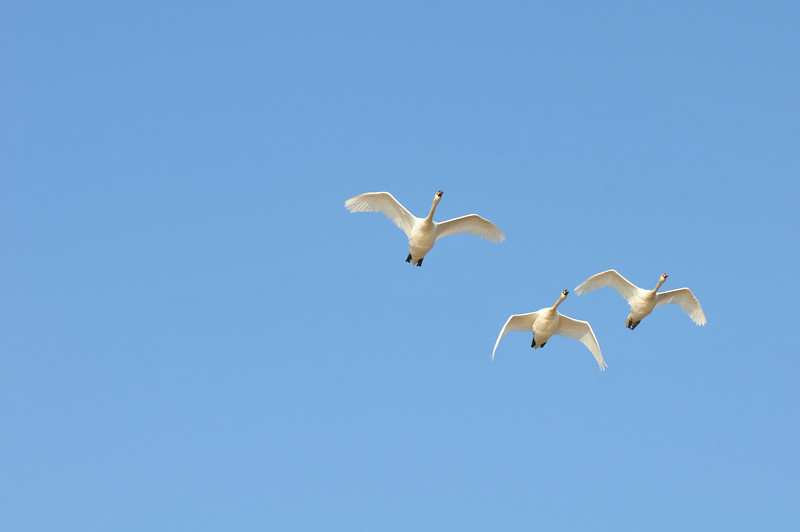 DSC_5284_swans_in_flight_lg.jpg