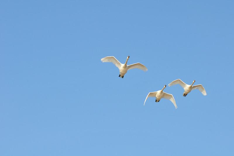 DSC_5284_swans_in_flight_lg.jpg