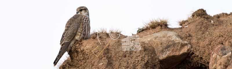 Female merlin (Falco columbarius) falcon resting on a mud wall