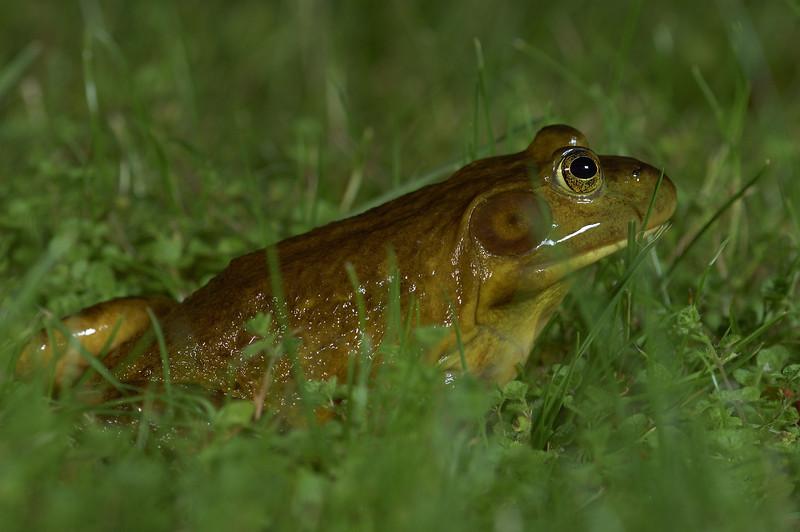 American Bullfrog found in Black Creek.