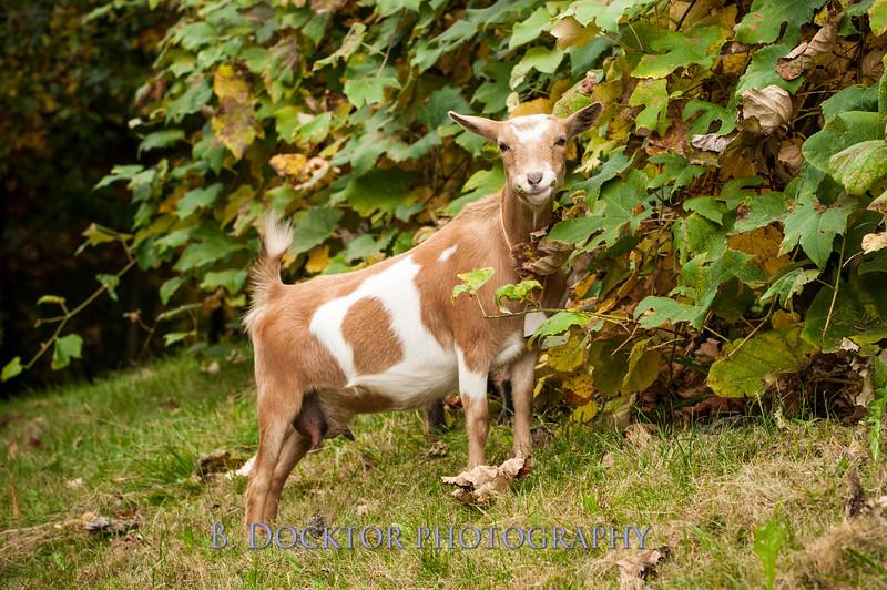 1310_Nigerian dwarf goats_058.jpg