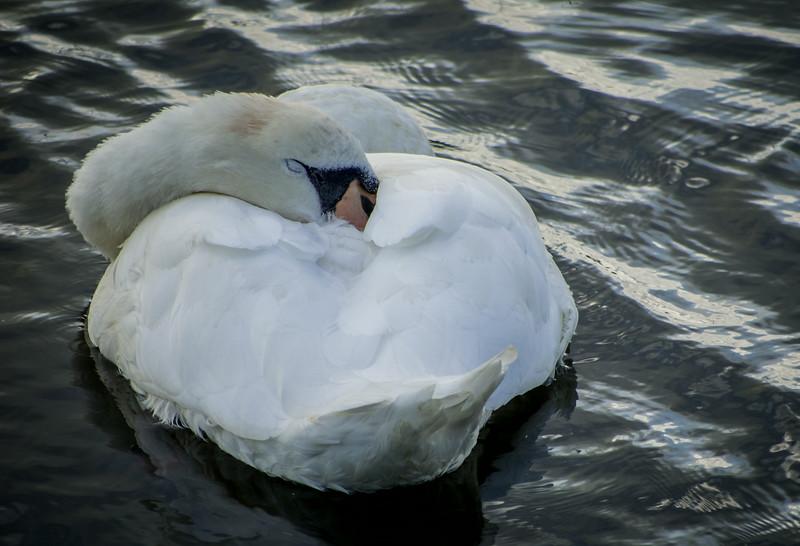Swan - Christchurch Quay