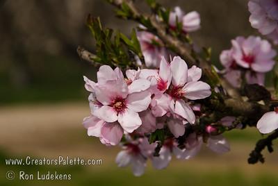 Garden Prince Almond (Genetic Dwarf)