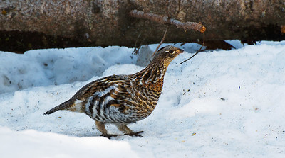 Ruffed Grouse  Taken March 31, 2011 Elk Island Retreat Near Fort Saskatchewan, Alberta