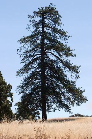 Sadas Pine