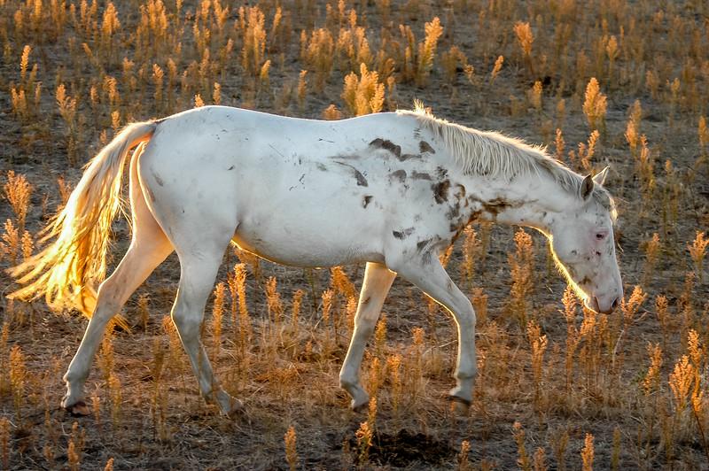 Backlit Wild Horse Walking #3