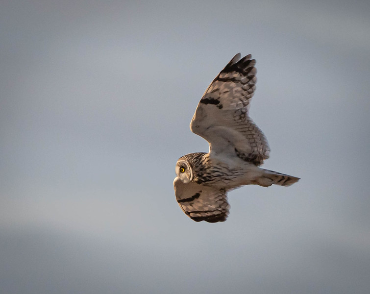 Short-eared Owl one bright eye