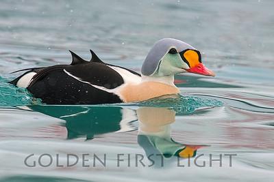 Ducks, Geese & Swans