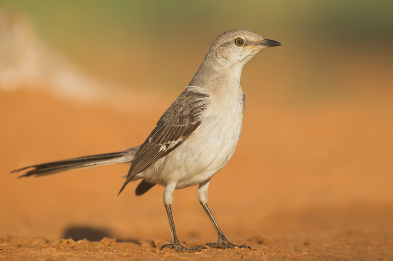 Northern Mockingbird - Laguna Seca Ranch, Edinburg, TX, USA