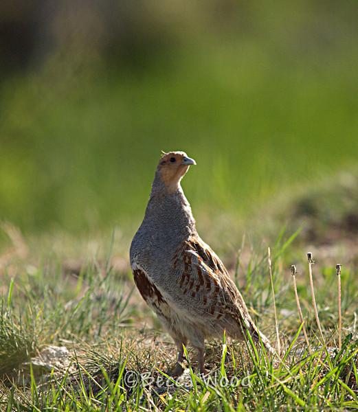 Gray Partridge (Perdix perdix)